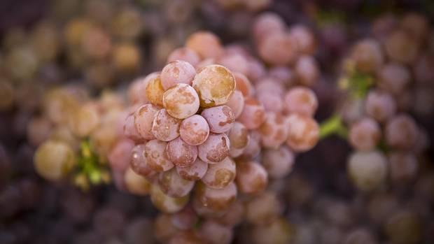 Picked gewérztraminer grapes at the Hidden Terrace vineyard in Okanagan falls