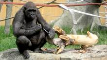Barika a female gorilla at Calgary Zoo holds a knife accidently dropped in her enclosure by a keeper. (Haika Scheffler/The Canadian Press/Haika Scheffler/The Canadian Press)