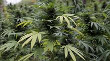 Marijuana plants are seen in Chicago where officers say they discovered two football fields worth of pot plants growing on the city's South Side Wednesday, Oct. 3, 2012. Authorities say more than 1,000 cannabis plants were discovered during a helicopter operation Tuesday. Some were as tall as Christmas Trees. (Teresa Crawford/The Associated Press)