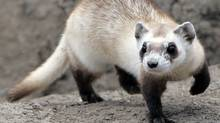Reintroduced in Saskatchewan, the black-footed ferret is an example of increasing biodiversity in developed countries. (RICK WILKING)