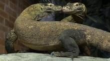 A pair of Komodo dragons go nose to nose at the Bronx Zoo in New York. Komodos are carnivores native to islands in Indonesia and have long forked tongues, big claws and mouths full of sharp teeth. (JULIE LARSEN MAHER/ASSOCIATED PRESS)