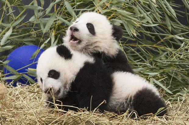 Five-month-old panda cubs Jia Panpan and Jia Yueyue are exhibited to the media on March 7, 2016.