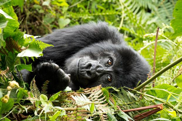 A gorilla in Uganda's Bwindi Impenetrable National Park.