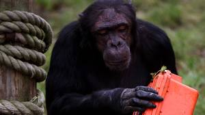 A chimpanzee in the Budongo Trail at Edinburgh Zoo holds a chimp-proof camera Tuesday. The 11 chimps at the zoo have been taking part in a research project during which they have experienced video streaming for the first time, learned how to use touch-screen technology and have been given the camera to shoot their own footage.