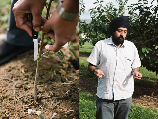 Cherry varieties are developed through hybridization—crossbreeding genetically different parents to produce new qualities. Here, Amrit Singh, a breeder at the Summerland Research and Development Centre, is grafting one hybrid onto another, which helps speed up a process that can take decades