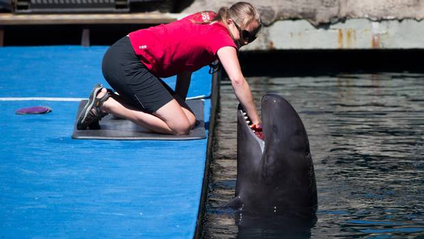 A trainer places her hand inside the mouth of Chester, a false killer whale, at the Vancouver Aquarium.