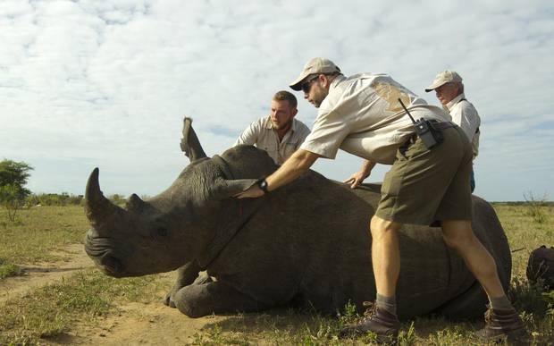 Worldwide, it's estimated that a rhino dies every eight hours, simply because their horns are more valuable than gold or cocaine.