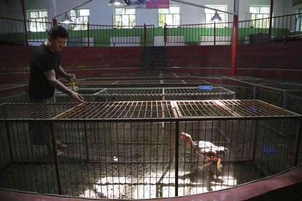 Askhar feeds grapes to chickens at a cockfighting arena in Turpan.