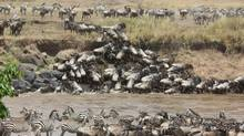If zebras and wildebeests take their changes in Kenya's crocodile-infested waters, then so would we. (Jeanette Stock)