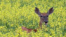 A white-tail deer stands neck-deep in a field of canola. (Tim Smith/The Canadian Press)