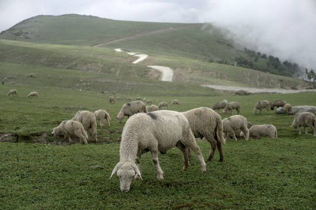 Sheep graze on the Razdan pass that divides the Kashmir and Gurez valleys.