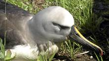 A yellow-nose albatross, the first of the species ever found in Ontario, is convalescing at Sandy Pines Wildlife Centre in Napanee. (Sandy Pines Wildlife Centre)