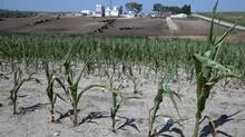 Stunted corn grows next to a cattle feed lot in Springfield, rural Omaha, Neb. on Tuesday. The drought gripping the United States is the widest since 1956. (Nati Harnik/AP)