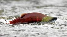 A sockeye salmon scurries through shallow water in the Adams River while preparing to spawn near Chase, British Columbia northeast of Vancouver October 11, 2006. (Andy Clark/ Reuters/Andy Clark/ Reuters)