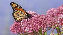 A Monarch Butterfly pictured on a swamp milkweed wildflower. (Getty Images)