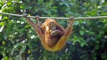An orangutan hangs onto a rope at the Sepilok Orangutan Rehabilitation Centre in the Malaysian state of Sabah on Borneo. (BAZUKI MUHAMMAD/REUTERS)