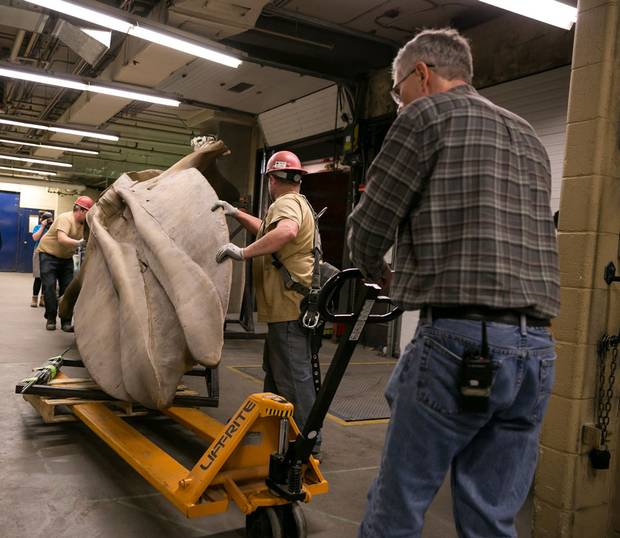The temporary cast of the whale skull was a tight fit through the loading dock at the ROM. The actual skull is still going through the degreasing process and will replace the cast when it's completed.