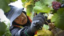 A Mexican migrant worker picks grapes at a vineyard in Okanagan Falls. (John Lehmann/The Globe and Mail)