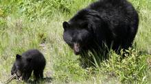 A black bear and her cub walk through the grass on a ski run on Blackcomb mountain in Whistler, B.C., Friday June 26, 2009. (Jonathan Hayward/THE CANADIAN PRESS)