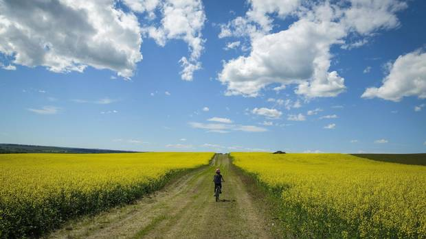 A cyclist passes between two canola fields on an afternoon trail ride near Cremona, Alta.