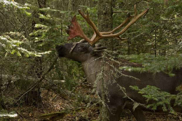 Boreal caribou once roamed over half of Canada, but their territory has dwindled to wetlands and northern boreal forests that are mostly under provincial jurisdiction.