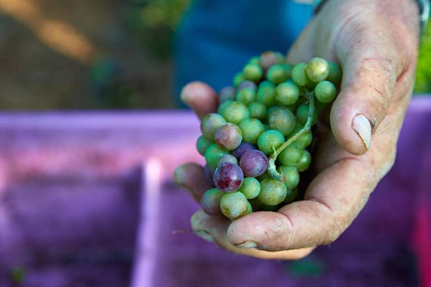 Lightfood prefers a pesticide-free approach to fostering his vineyard's unique grape varieties.