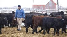 Saskatchewan farmer Larry Spratt looks over some of his calves on his farm near Melfort, SK on November 15, 2010. Spratt and his father Don expanded their farm in a modern version of crop sharing where they farm land bought by investors. (David Stobbe/The Globe and Mail)