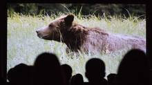 Audience members in Vancouver September 4, 2013 watch a film about a grizzly bear killed in violation of a First Nations ban on trophy hunting. (John Lehmann/The Globe and Mail)