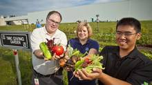 At the 'giving garden' in Cambridge, Ont., workers at the Toyota Motor Manufacturing Canada plant display their all-natural vegetable harvest. Paul Plato, left, Pam Hawkins and David Romero volunteered their time on company property. The harvest came to 270 kilograms last year and has been donated to two local women's shelters. (Toyota Motor Manufacturing Canada)
