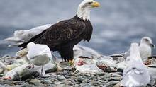 A bald eagle picks away at the remains of dead salmon along the Harrison River, Nov. 12, 2012. (John Lehmann/The Globe and Mail)