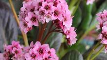 Bergenias grow well in the sun or part shade