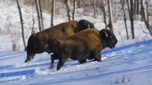 Bison at Elk Island National Park. (Bob Bittner/For The Globe and Mail)