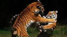 Siberian Tigers fighting. From photos.com (Nick Biemans/Getty Images/iStockphoto)
