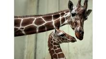 Female giraffe Monique tends to her new born male cub Tebogo at the zoo of Frankfurt, central Germany (Thomas Lohnes/Thomas Lohnes/AP)