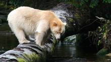 One in ten black bears carry a recessive gene that gives their cubs white fur. (Doug Neasloss for The Globe and Mail)