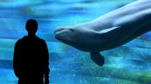 Beluga viewing area, Vancouver Aquarium. (Brian McLoughlin/Brian McLoughlin)
